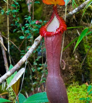 Nepenthes_edwardsiana_entire_ASR_052007_tambu